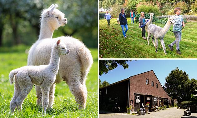 Alpaca experience (2 uur) bij Alpaca & Falabella Ranch