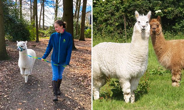 Alpaca-wandeling (1 uur) inclusief meet & feed