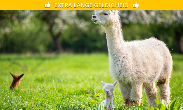 Alpaca experience (2 uur) + koffie/thee